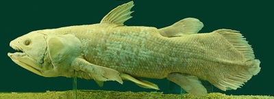 coelacanth, a fish once thought to be extinct