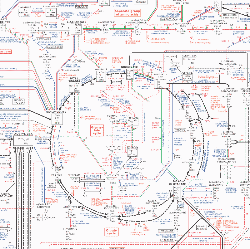 middle of b8ochemical pathways poster